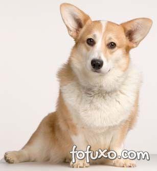 Cachorro da raça Corgi