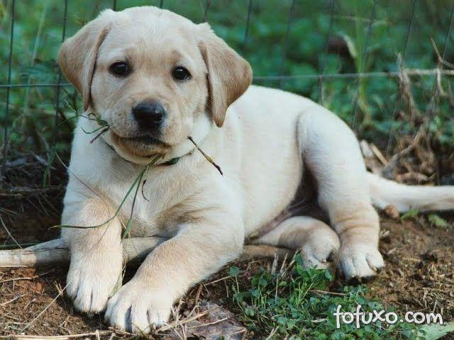 Cães que comem grama podem estar seguindo a dieta dos ancestrais.