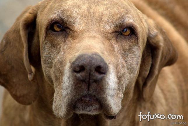 Saiba mais sobre a demência em cães idosos