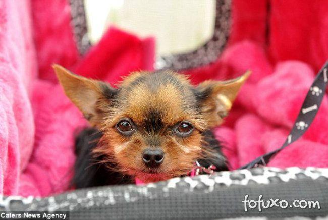 Conheça o mais novo menor cão do mundo