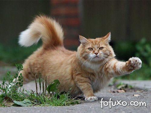 Saiba mais sobre a obesidade felina