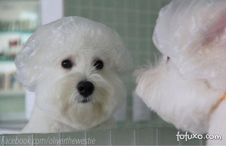 West highland white Terrier vira sucesso nas redes sociais