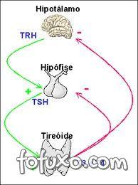 Eixo hipotálamo-hipófise-tireóide