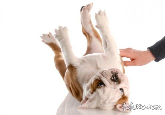 Cães adoram carinho na barriga. Entenda os motivos.