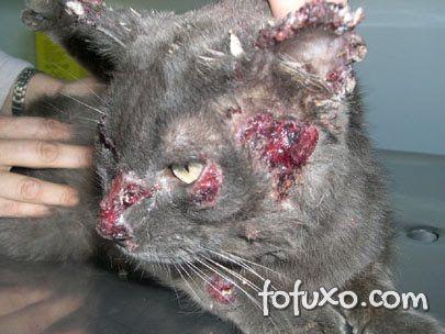 gato com lesões ulceradas em vários lugares
