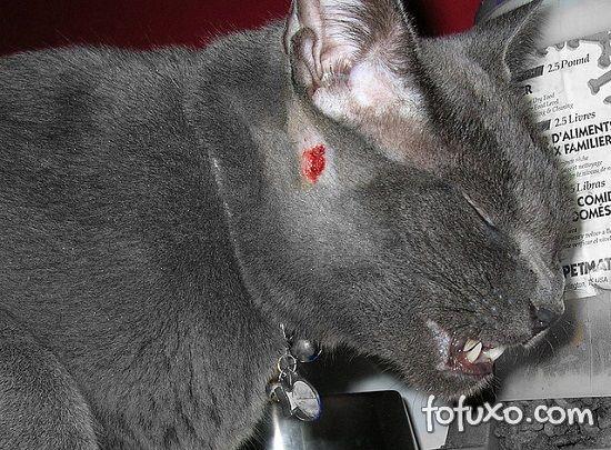 abscesso subcutâneo felino