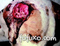 Cão com lesão ulcerada em pavilhão auricular