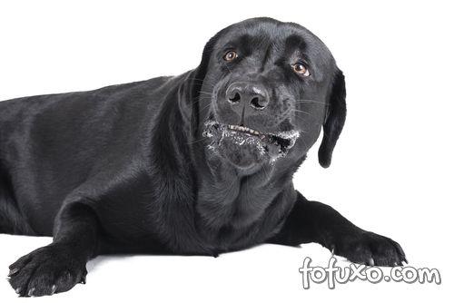 Hipersalivação cães