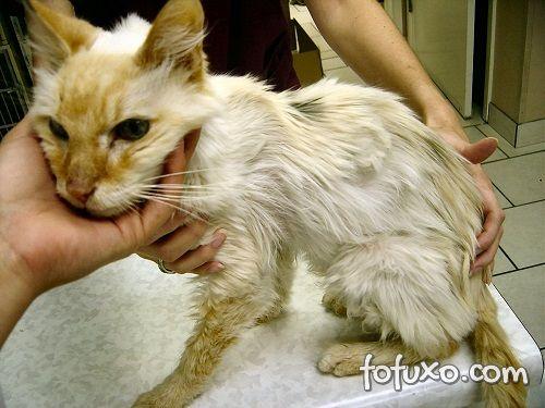 gato com perda de peso e pêlos opacos