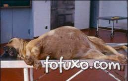 cão em choque por dilatação volvulo gástrica