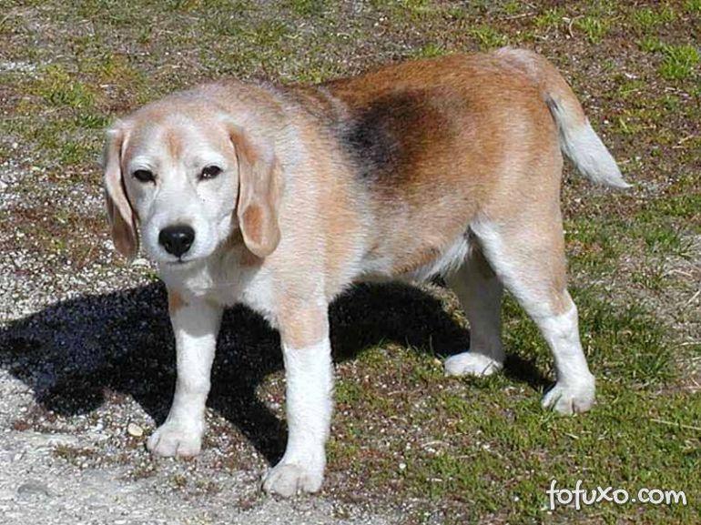 Os benefícios de adotar um cão idoso