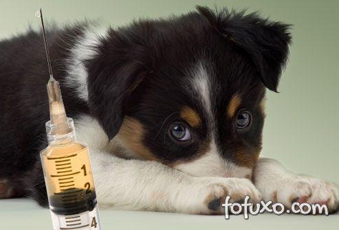 Vacinação cão
