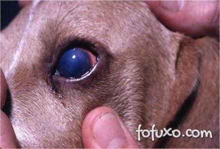 Blue Eyes na hepatite infecciosa canina