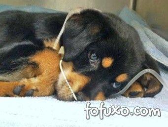 Rottweiler em tratamento