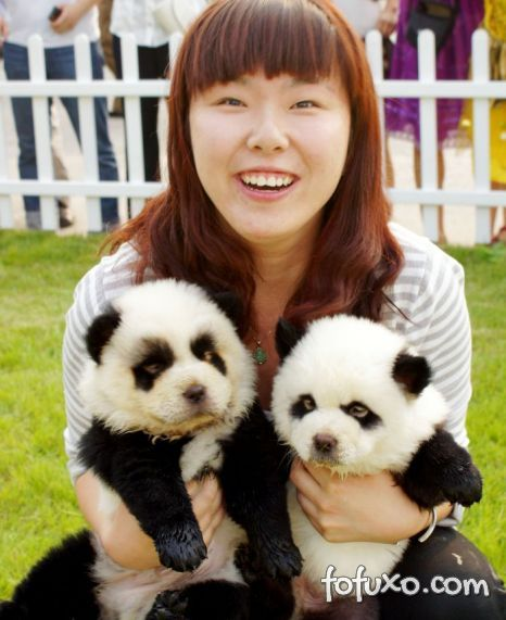 Conheça os cachorros-panda