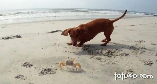 Vídeo: Quando o cão encontra o caranguejo