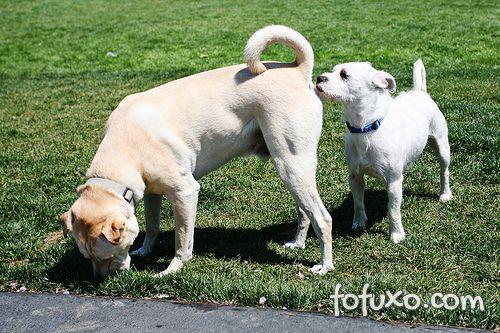 Entenda o que leva os cães a cheiraram o rabo de outros cachorros
