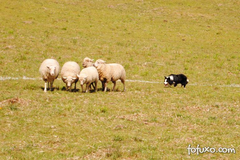 Cães ajudam no pastoreio no interior do RS