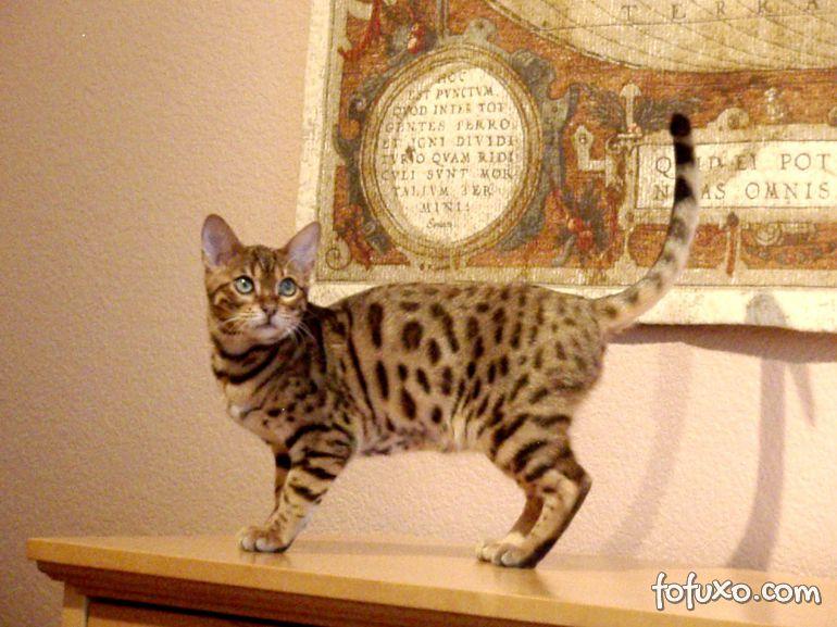 Pesquisadores descobrem mais sobre o processo de domesticação dos gatos