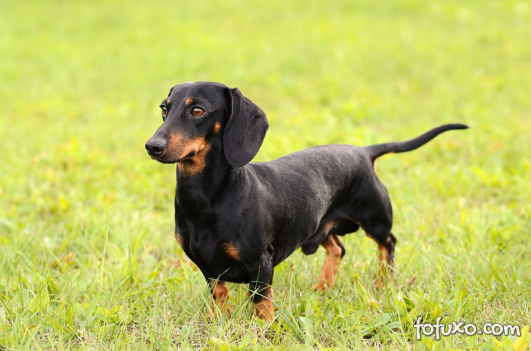 Confira algumas das raças de cães que vivem por mais tempo