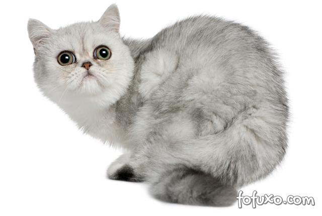 Confira dicas de raças de gatos para quem mora em apartamentos