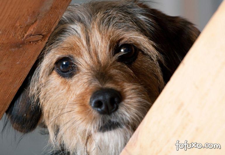 Saiba qual é o cachorro preferido dos brasileiros