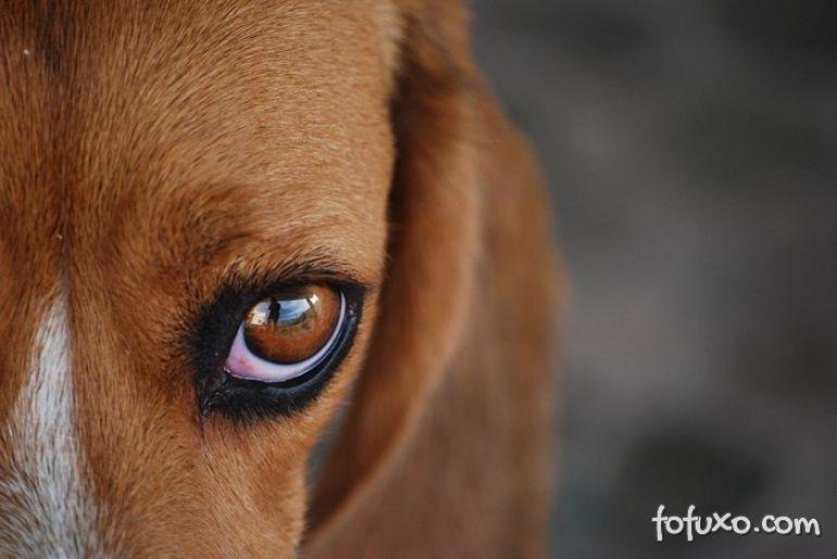 Confira algumas das principais doenças oculares dos cães