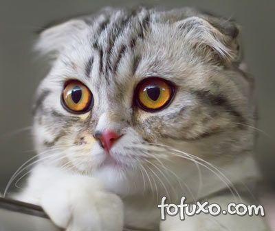 Conheça as 6 raças de gatos mais caras do mundo
