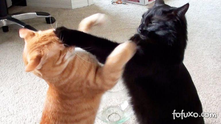 Dicas para os gatos pararem de brigar