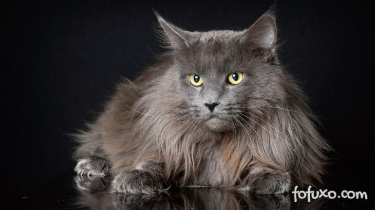 Dicas para cuidar dos pelos longos de gatos