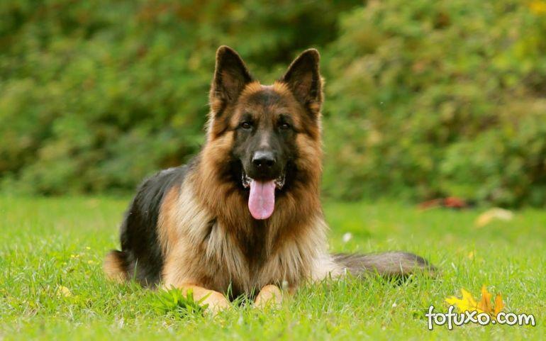 5 raças de cães que se destacam pela sua obediência