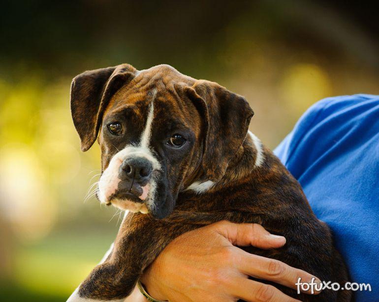 5 curiosidades sobre os cães da raça boxer