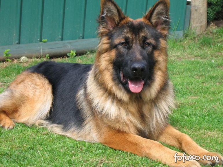 Morre primeiro cachorro a testar positivo para Covid-19 nos EUA