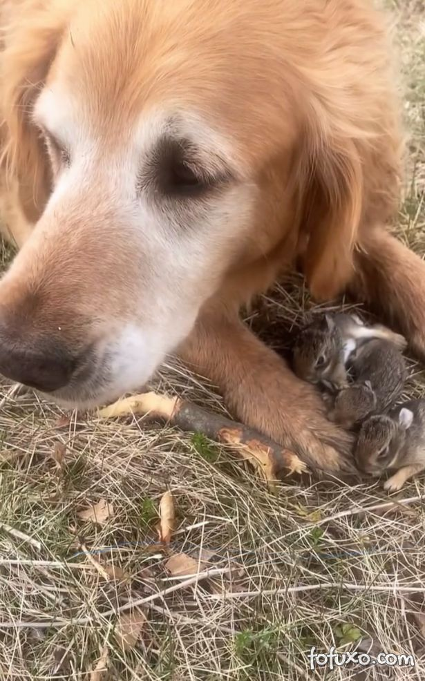 Golden retriever resgata seis filhotes de coelho
