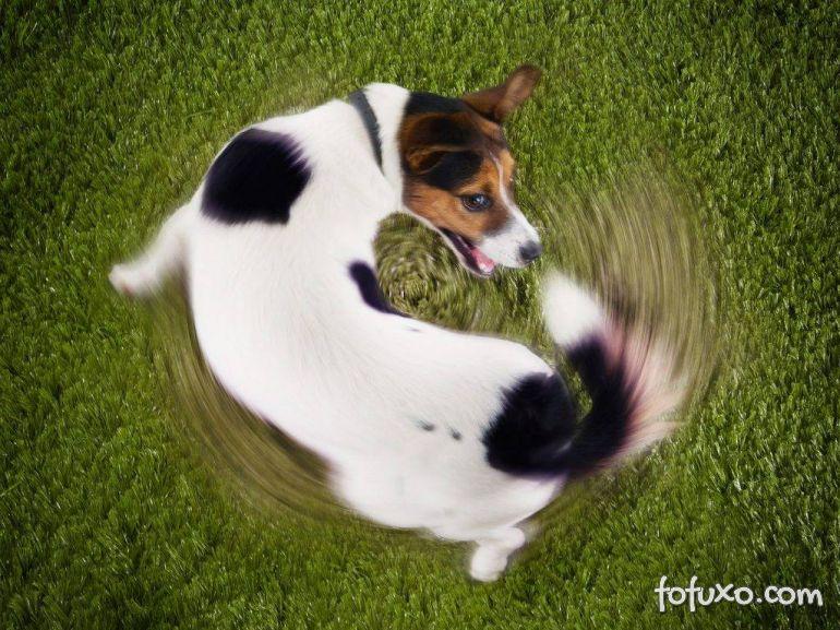 Por que os cães correm atrás do próprio rabo