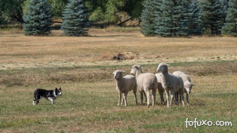 Como utilizar cãs de pastoreio para atividades do campo?