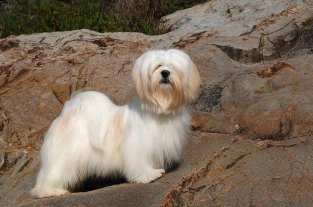 4 raças de cachorros que são originárias da China