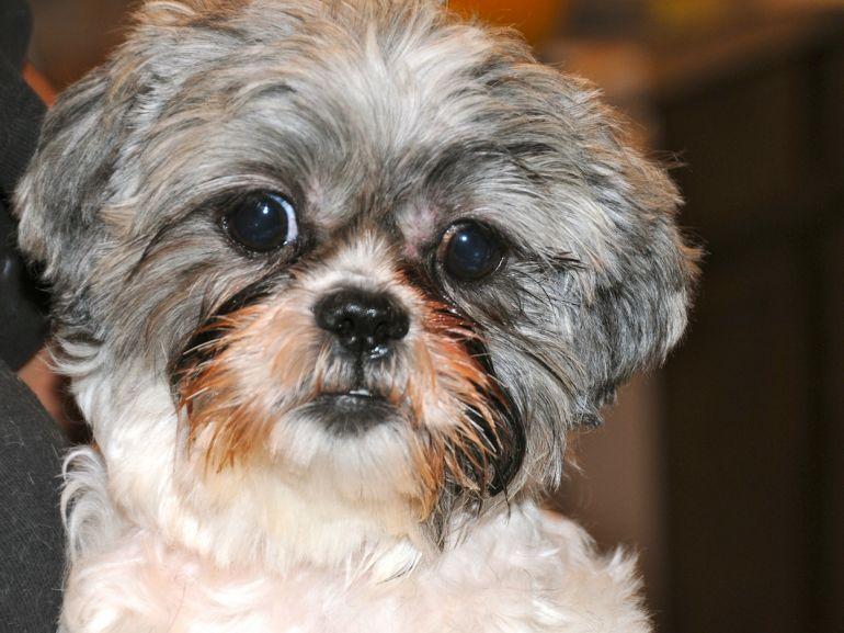 Por que alguns cachorros lacrimejam em excesso?