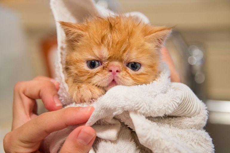 Confira algumas curiosidades sobre o Gato Persa
