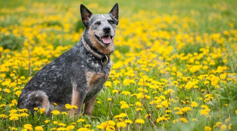 5 raças de cachorro para quem mora em sítio