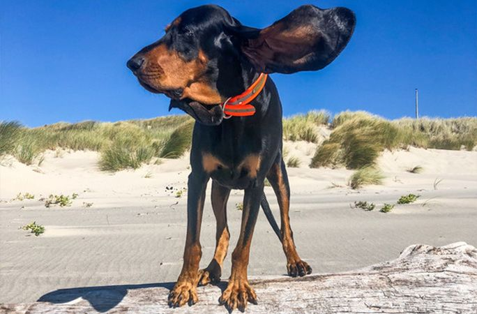 Cachorro com maior orelha do mundo entre para o Guinness Book