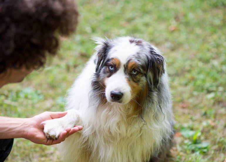 Saiba como ensinar o cão a dar pata