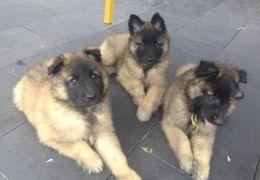 Thor, Rex e Laika